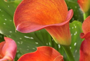 Zantedeschia Orange Beauty