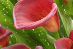 Zantedeschia Red Dragon